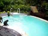 singes nagent dans piscine