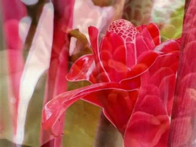 Rosas de Porcelana de Angola