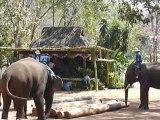Thailande les elephants rangent les troncs