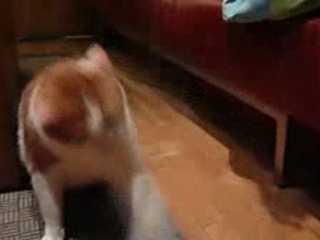 Sumo, le chat psychopathe des voisins