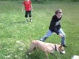 American Staffordshire Terrier au jeu entouré d'enfants 1/2