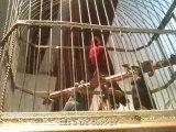 Les oiseaux siffleurs du Musée Baud de L'Auberson...