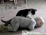 Lutte entre un bébé et un chat