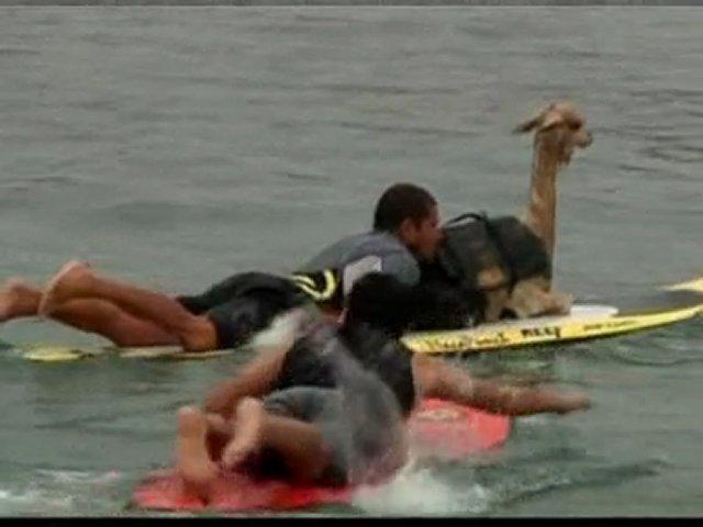 Man teaches alpaca to surf