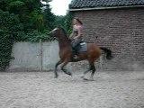 Saut obstacle chevaux