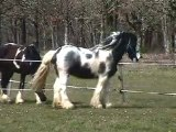 BLUE ICE ETALON ELITE IRISH COB PIE BLEU