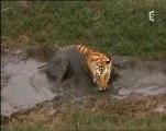 gros plan sur les tigres - apprentis chasseurs (2)