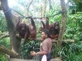 Goûter des Orangs-outans au Zoo de Singapour