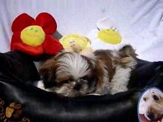 Shih Tzu pups beschikbaar 06-04-2010