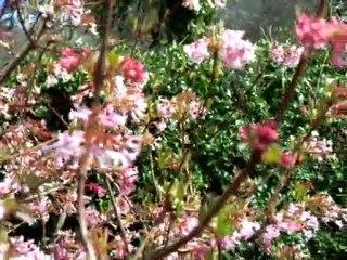 Papillons citrons arbre Japonais avril 2010_7231