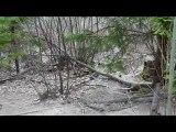 Basset des alpes au parc aux sangliers PART 1