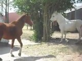 CHEVAUX DE MERENS YEARLINGS et mes poneys et chevauxSDC11353