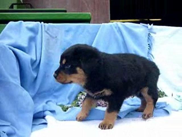 Rottweiler pups beschikbaar 07-05-2010