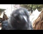 (Souvigny 2009) Pioupiou : l'oiseau viking !