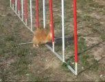 L'Agility au Pamiers Sports Canins