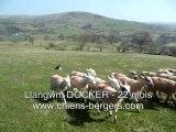 Llangwm DOCKER, Border Collie au travail sur moutons