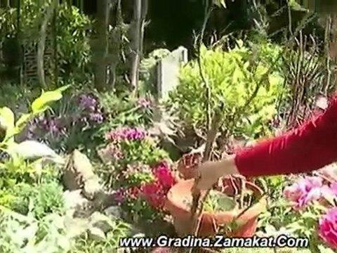 Засаждане на Градинска Азалия