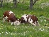Les vaches dehors pour la première fois de l'année