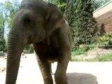 Elephant du zoo d'Amiens (mai 2010)