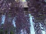 藤の咲く丘の藤