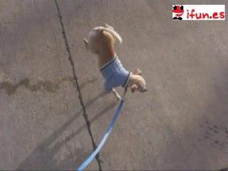 Perro meando de pie