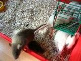 Bébés rats en sortie (2)