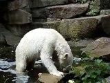 00011-L'ours blanc au zoo de Berlin