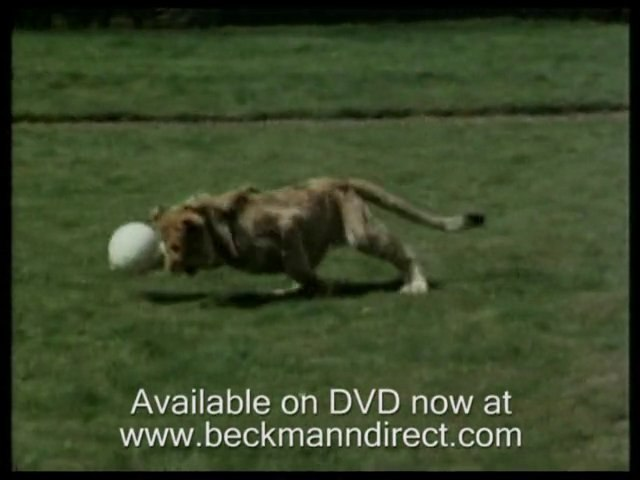 Funny lion; Christian the cute lion cub from Harrods pt1