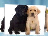 Golden Retriever Dog Golden Retriever Rescue Golden Retriev