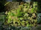 Le Jardinier Sarthois : Planter du persil
