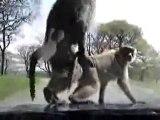 Les singes font l'amour pendant la crise