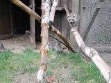 Waschbären im Wildgehege Hellenthal