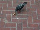 Même les pigeons