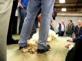 au championnat du monde de tonte de moutons