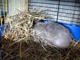 préparation du nid et accouchement de lapin