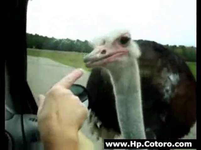 Hungry Ostrich Doesnt Understand Windows
