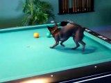 Chihuahua jouant au billard [Humour Buzz]