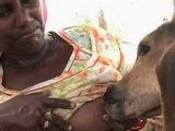 Indian woman breastfeeds a calf