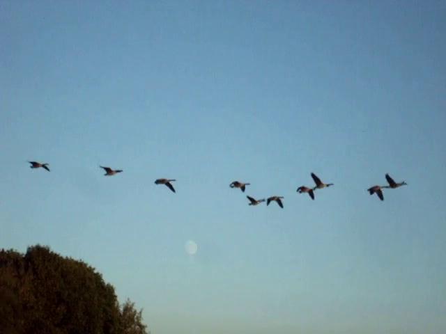 ~ Majesté des Oies sauvages ~ Wild Geeses Majesty ~Vidéo Pat