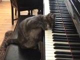 Chat qui joue au piano [Buzz Cat]