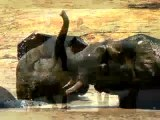 Photos of Huge Elephants [Photo of huge Elephant]