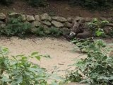 Zoo de Doué la Fontaine - Curée des vautours
