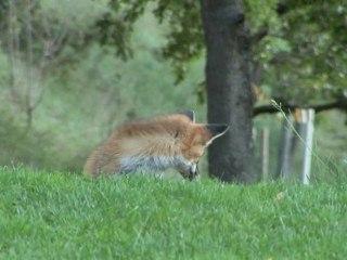 Le renard et la rosalie alpine