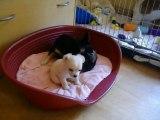 Bébés chihuahua - 6 semaines