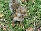 écureuil dans le parc Mont-Royal Montréal