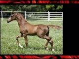 Arabian Sport Horses florida, Sports horses for sale, Horse