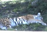 St. Louis Zoo Tiger seen from train ride