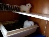 MOV03840 bébés lapins bélier angora teddy de lila et divin