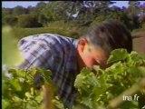 Vendanges en Savennières pour les vins blancs secs