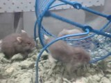Mother Frankie & her baby dwarf hamsters #3